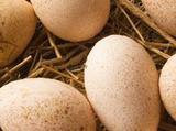 Инкубационное яйцо индюков