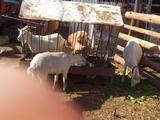 Котаные козы. Козел